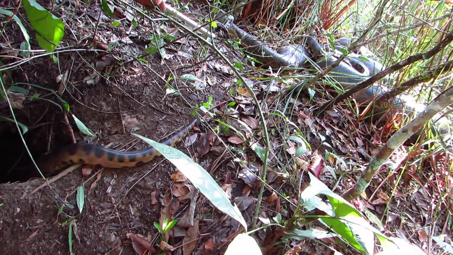 Anakondaenes utrolige parringsdans fanget på film