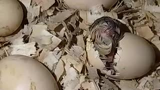 Watch this chick breaking out of the shell