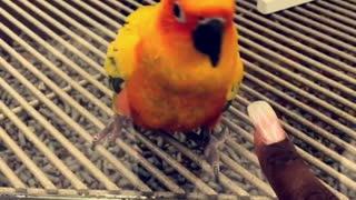 Colorful bird hitting glass window with beak