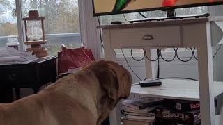 Mack Daddy dog watches TV