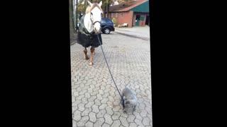 Baby dog walking with horses!
