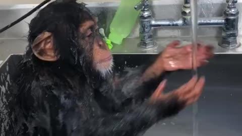 Monkey washing face