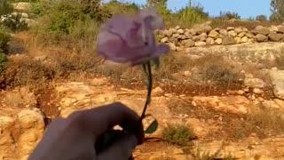 Slow Motion Falling Pink Rose