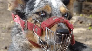 Top 10 most Dangerous dogs in the world!!