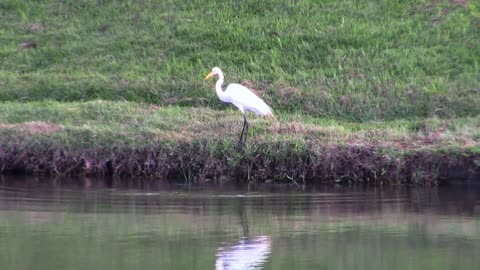 Female Heron Bird Gets His Legg Wet In Lake