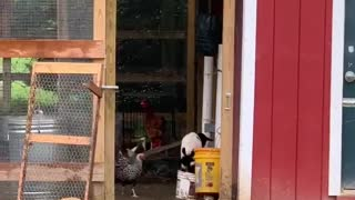 Goat Kid Thinks She's a Chicken