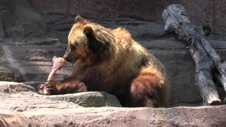 Brown bear eating a large bone in a zoo