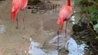 Flamingo tomand banho