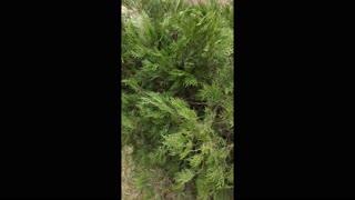 New origin natural plant