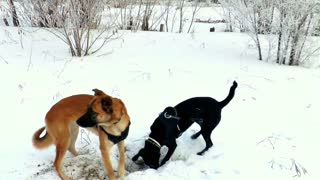 Neighbor dogs dig hole to play with each other