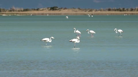 Flamingo birds walking on the lake - With beautiful music