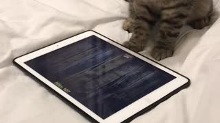 This Kitten Playing With A Tablet Is Going For The New High Score