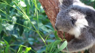 How Baby Koala Reacts To Favorite Food Tree
