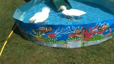 Ducks go for a swim