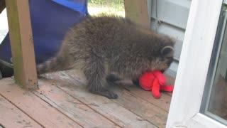 Raccoon Fight!