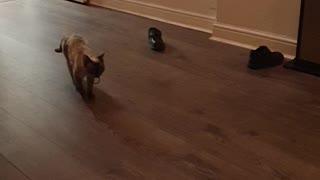 Feline Plays Fetch