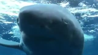 Great White Shark Power! 💥