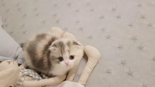 little munchkin cat