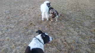 Three dogs having loads of fun!