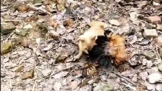 Chicken VS Dog Fight!!