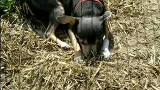 Chihuahua playing In the dirt