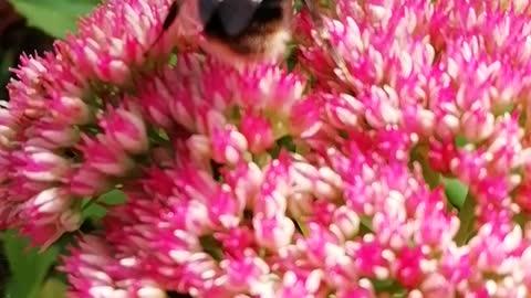 BEES ON SEDUMD🐝😊🍯!