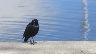 A beautiful black bird sings in a wonderful voice on the edge of a pond