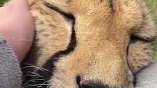cheetah gets love