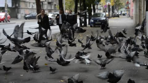 A Herd Of Pigeons Eating Rice Flew Off When People Came Close