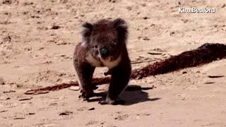 Koala wanders onto Australian beach