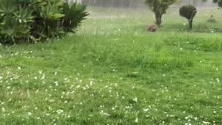 Bulldog Chases Hailstones Like Balls Falling From the Sky
