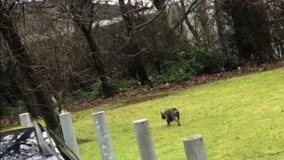 French bulldog herds pug just like sheep