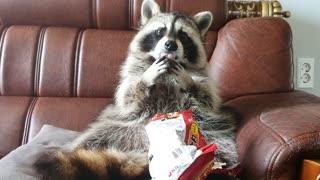 Pet raccoon casually opens bag of ramen and eats it