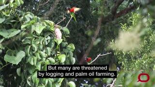 Rare birds of Papua New Guinea under threat.mp4