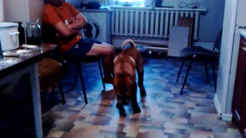 Dog Shar pei in socks is so funny