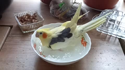 The parrot is taking a bath