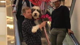 Sheepadoodle Valentine Birthday Surprise