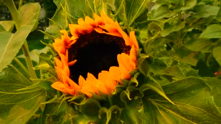 Sunflower. Ukraine