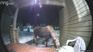 Moose Enjoy a Front Porch Snack