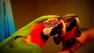 The parrot sees itself in the mirror and talks