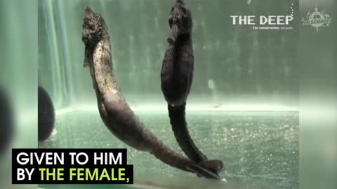 This Is How A Seahorse Gives Birth