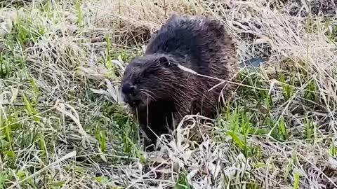 Wow wild beaver eats