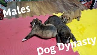 Dog Dynasty Puppy Male