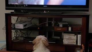 Lhasa Apso Watching TV