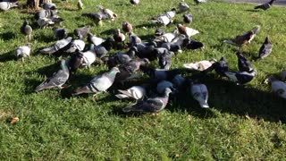 Hungry Pigeons Get Food From Grass