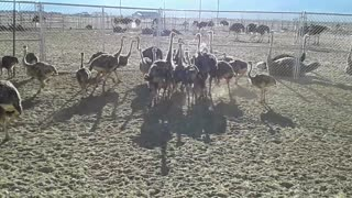 Ostrich Chicks Playing Rugby Amazing!