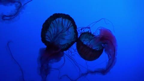 💗Jelly Fish under water animal Marine aquarium #13💗