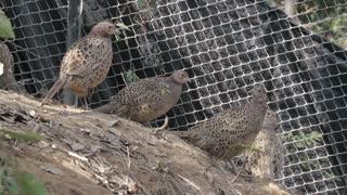 Female Pheasant Gathering
