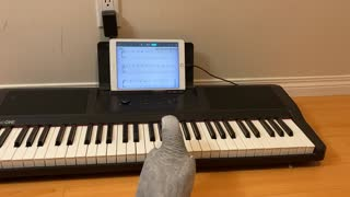 Green Sleeves(English Air) by Jenny The African Grey Parrot.