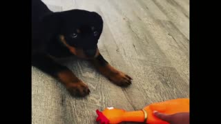 Best Of Cute Rottweiler Puppies Compilation